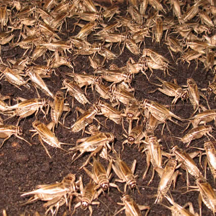 Adult Crickets